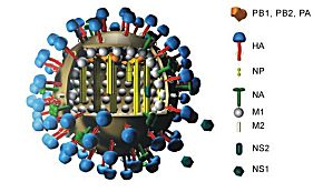 Aufbau von Grippeviren (Zeichnung: M. Eickmann)