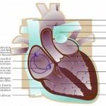 Reizleitungssystem des Herzens.