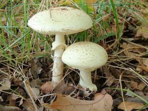 Der Knollenblätterpilz ist einer der giftigsten Pilze in Deutschland und für 90 Prozent aller tödlichen Pilzvergiftungen verantwortlich.