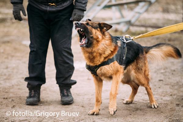 Ein Schäferhund verletzte zwei Männer schwer. Symbolfoto: fotolia/Grigory Bruev